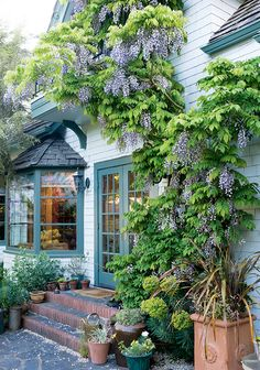 Garden tour: Wisteria dripping with blooms  {PHOTO: Allan Mandell}