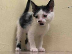 TO BE DESTROYED 7/11/14 ** BABY ALERT! ONLY 5 WEEKS OLD!! 3 Friendly young kittens A1005816, 817, 818 came together Came without nursing queen Can eat on own- has very good app ** Manhattan Center  My name is BETTINA. My Animal ID # is A1005817. I am a female white and black domestic sh mix. The shelter thinks I am about 5 WEEKS old.  I came in the shelter as a STRAY on 07/07/2014 from NY 10453, owner surrender reason stated was STRAY. I came in with Group/Litter #K14-184895