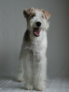 an adorable laughing welsh terrier.