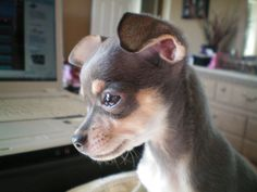 Such a pretty Chihuahua