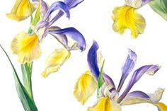 Iris Miss Saigon by Rosie Sanders - botanical artist