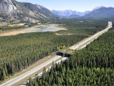 A Solution to Roadkill --Banff National Park in Alberta, Canada has built 24 of these beautiful bridges. Scientists have reported that 10 species of large mammal species have used the bridges in the past 25 years.