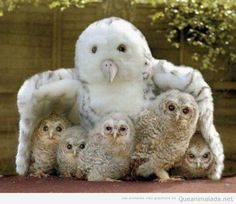 Foto bonita de crías de búhos blancos