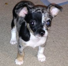 Blue Merle Chihuahua, Teacup Chihuahua Puppies, Cute Chihuahua, Kittens And Puppies, Chihuahuas, Cute Puppies, Cats And Kittens, Toy Dogs, Dog Toys