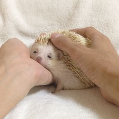 Bijou, her pet hedgehog. Cute Little Animals, Cute Funny Animals, Cute Creatures, Beautiful Creatures, Animal Pictures, Cute Pictures, Baby Hedgehog, Animal Memes, Animals And Pets