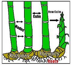 How to Grow Bamboo Cuttings