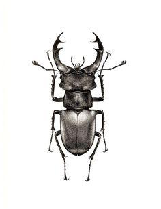 Large lucanus cervus72