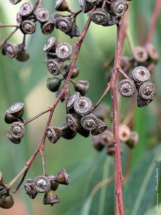 eucalyptus seed pods at DuckDuckGo Botanical Art, Botanical Illustration, Garden Pods, Australian Plants, Seed Pods, Patterns In Nature, Planting Seeds, Native Plants, Fungi
