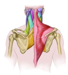 Repetitive Stress Injury: The Upper Trapezius - IDEA Health & Fitness Association Upper Back Exercises, Knee Exercises, Upper Back Pain, Yoga For Back Pain, Pilates, Traps Workout, Workout Men, Physical Therapy School, Occupational Therapy