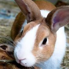 Parsley is a characterful rabbit who is looking for a new home with the new girl in his life Ruby 10934. Parsley will come up and say hello, and will happily hop about after you, but is nervous of phyiscal contact, so requires time to build up a bond with his new owners and learn to trust them.
