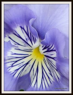 One of the prettiest violet photos I have ever seen, Stacie Rader