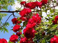 Trandafiri rosii superbi in IOR!