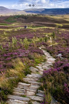 Heather path - Scotlands landscapes are amazing! Especially when the heather is blossoming and paints the landscape in glowing purple...