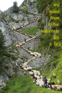 Psalms 78:52 But made his own people to go forth like sheep, and guided them in the wilderness like a flock.