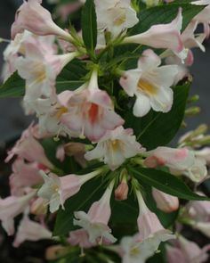 Sonic Bloom™ Pearl Reblooming Weigela   Weigela florida  Sun, zone 4a, blooms May-frost, no deadheading, hummingbirds love it!