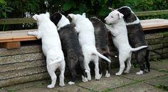 Wann gibt es endlich Essen? English Bull, Bull Terriers, Bullies, Bellisima, Goats, Friends, Beagle Dog, Animales, Essen