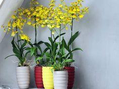 L'oncidium, plante d'intérieur à découvrir en août