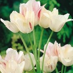 Tulip Candy Club - Parkers Wholesale