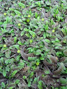 Leptinella squalida (New Zealand Brass Buttons). Okay for occasional foot traffic. Deer resistant.