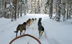 Dog sledding in Lulea
