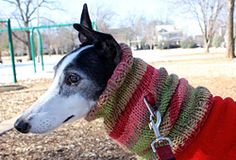 Love this beautiful grey & cowl! Free Ravelry: Greyhound Cowl pattern by Leigh Martin Snood Knitting Pattern, Knitting Patterns, Greyhound Coat Pattern, Italian Greyhound Clothes, Dog Snood, Dog Jumpers, Grey Hound Dog, Dog Sweaters, Dog Coats
