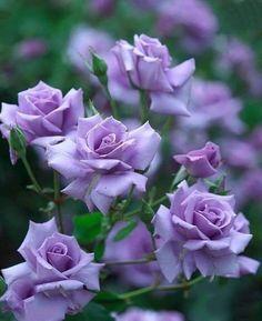 Pastel Flowers, Vintage Flowers, Spring Flowers, Purple Flowers, Beautiful Flowers Garden, Beautiful Roses, Pretty Flowers, Wallpaper Nature Flowers, Belleza Natural