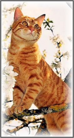 MY TREE .... cute red kitty ;-)) #EUROPEAN SHORTHAIR cat cats kitten animal fur fluffy beautiful nature