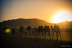 Camels walk toward a tent in the rocky desert of Zagora, Morocco.