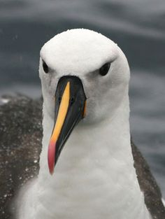 Indian Yellow-nosed Albatross (Thalassarche carteri) bill is black with a yellow upper ridge and a red tip. The juvenile has a white head and all black bill.