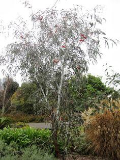 Silver Princess Gum Tree Hillside Garden, Garden Trees, Trees To Plant, Fence Garden, Australian Native Garden, Australian Plants, Back Gardens, Small Gardens, Willow Tree Wedding