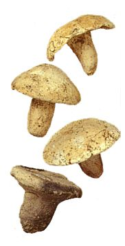 Mushrooms.   A clay product of the Jomon period. BC.2,500 - BC.1,200.   Excavation place / Akita Japan.