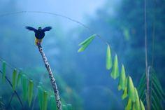 : BIRDS OF PARADISE : Environmental Photographs: Wildlife Photojournalist Tim Laman, Tim Laman