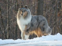 9-month old rough collie blue merle