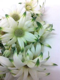 flannel flower - white and green Australian Wildflowers, Australian Native Flowers, Australian Plants, Green Flowers, White Flowers, Beautiful Flowers, Flannel Flower, November Wedding, Flowering Trees