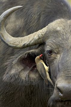 Africa | Oxpecker and Cape Buffalo. Hluhluwe Game Reserve, South Africa | ©James O. Hager