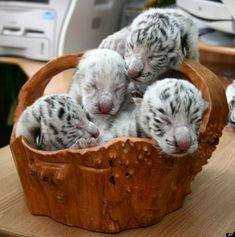 Picture #2 of 2  KIEV, Ukraine -- A beautiful white tiger that became a symbol of Yulia Tymoshenko's presidential campaign has returned to the spotlight by giving birth to four cubs, including a rare albino one.