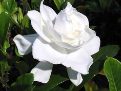 The Wonders of Doing: What can I do with all these Gardenias ?