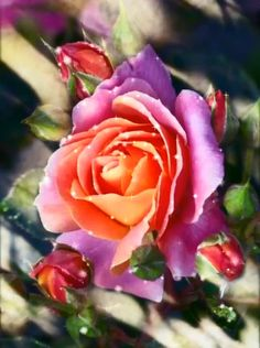Beautiful Flowers Pictures, Beautiful Flowers Wallpapers, Beautiful Rose Flowers, Beautiful Nature Wallpaper, Beautiful Flower Arrangements, Flower Pictures, Amazing Flowers, Rose Flower Wallpaper, Flowers Gif
