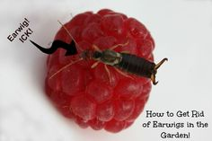 Do you have a problem with earwigs in the garden? Here is a tip on how to get rid of them!