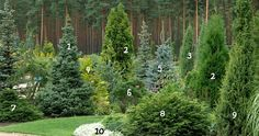 1. Serbian spruce 'Nana'     6. Pine mountain 'Winter Gold'  2. Thuja occidentalis 'Holmstrup'      7. Spruce 'Pumila Glauca'  3. Juniperus communis 'Stricta'     8. The Eastern Hemlock tree 'Nana' 4. Cypress Lawson 'Dzintra'     9. Common juniper 'Green Pencil' 5. Blue spruce 'Glauca'      10. Lobularia Primorsko (Maritime alyssum, kamenik)