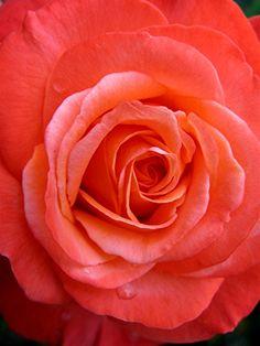 rosas en tono coral - Google Search