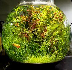 金魚鉢水槽が良い感じ - インドでアピスト
