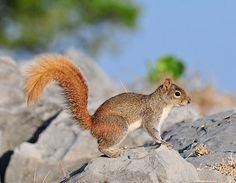 Image result for Allen's squirrel. ( Sciurus alleni)