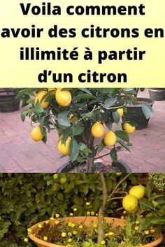 Voila comment avoir des citrons en illimité à partir d'un citron Indoor Garden, Outdoor Gardens, Green Party, Vegetable Garden Design, My Secret Garden, Growing Plants, Horticulture, Shrubs, Planting Flowers