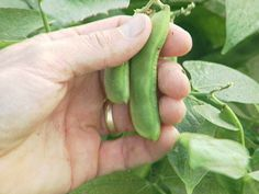 Growing/Harvesting Edamame - Definitely want to do this, looks like they'll grow perfectly in the yard once I get my raised beds in.