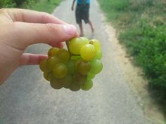 Picking grapes   #France #Europe on our #roadtrip #travel
