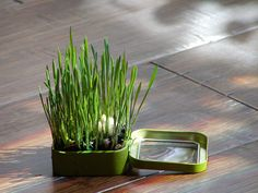 Altoids tin planter. So much potential in small tins for a small dose of green.