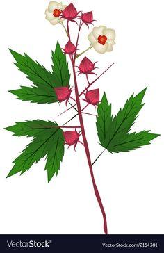 Roselle Plant, Hibiscus Sabdariffa, Plant Vector, Vector Free, Flora, Plant Leaves, Herbs, Fresh, Illustration