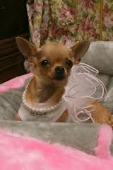 Purdy!!!! Chihuahua Attire Chihuahua Bling