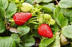 Albion Strawberry - Monrovia - Albion Strawberry